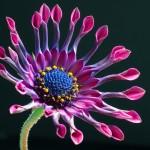 african-daisy-3413