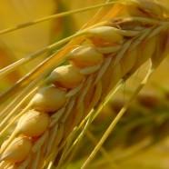 Gluten Alert: FDA Implements New Standards