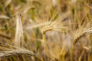 wheat-105288_1280