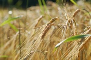 wheat-394164_1280