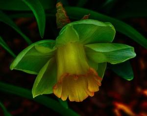 green-daffodil-102844_1280