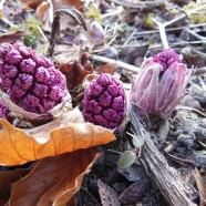 Butterbur Alleviates Seasonal Allergies and Migraines