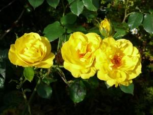 rose-444380_1280