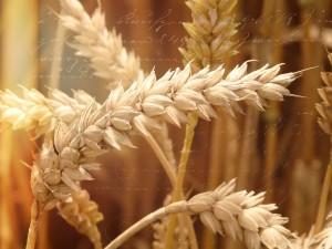 wheat-field-640644_1280