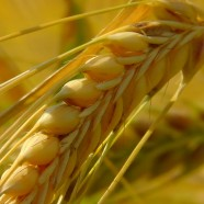Gluten Alert: FDA Implements New Standards