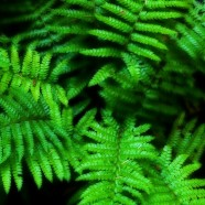 Pine Needle Tea Can Fight COVID Vaccine Shedding and Propagation