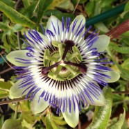 Passionflowers Calming and Healing Benefits