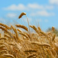 Why is Wheat Aging and Why Does It Spike Blood Sugar?